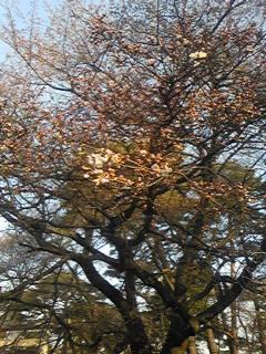 大宮公園開花状況 2008.03.23